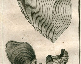 1802 Rare Antique Print Mollusk Shells,  Carinaires,  Bonnet de Dragon, Vintage Engraving Buffon, Drawing by Denys-Montfort