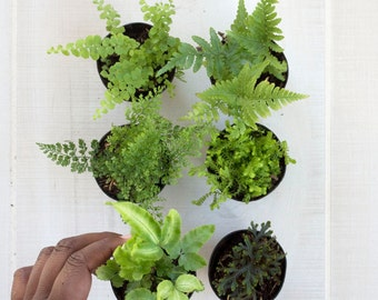 Terrarium Plant Fern Collection - Petite, House Plants, Greenery, Tropical Plants, Fairy Garden,  Botanical, Modern,  Light,