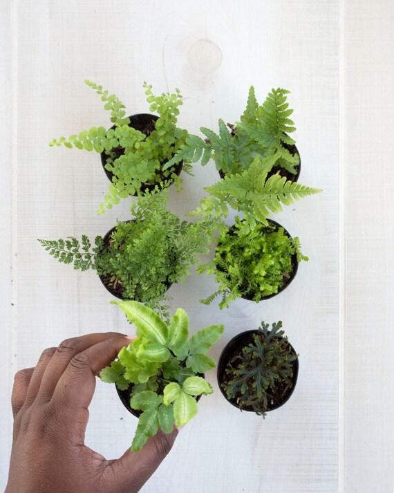 terrarium plant fern collection petite house plants. Black Bedroom Furniture Sets. Home Design Ideas