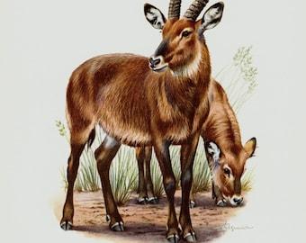 1961 vintage antelope print, Kobus, African antelopes