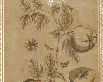 Quince French, Quince Vintage, Botanical Art, Quince Art, Vintage Botanical, Vintage Fruit Art, Drawing French, Botanical Illustration, Art