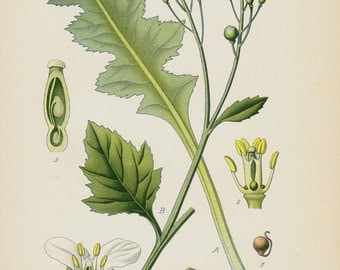 1896 Antique print, BOTANICAL print, lovely chromolithograph of a sea kale, seakale or cramb, green plants, veggetables