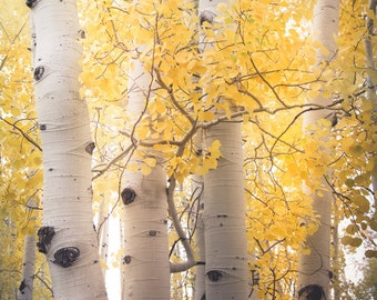 Aspen Trees Aspens Gold Fall Autumn Golden Warm Forest Woods Trees Rustic Cabin Lodge Photograph