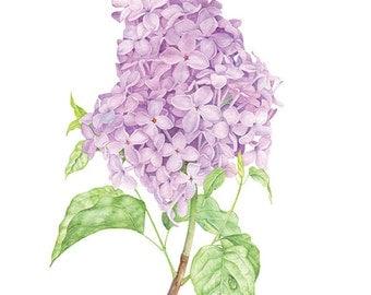 Lilac watercolor art print. Syringa Vulgaris (Lilac). Botanical illustration. Fine art watercolor print.