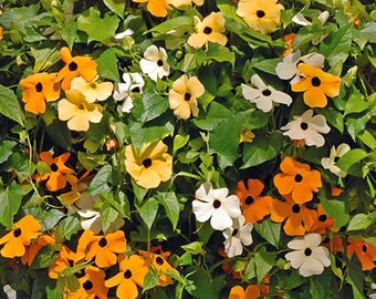 Thunbergia Alata Mixed - 40 Seeds - Black Eyed Susan Vine