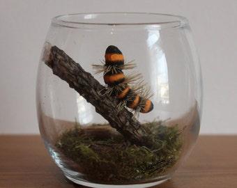 Real Woodland Caterpillar Terrarium - Cinnabar Caterpillar. Handmade, Ornamental Gift ~
