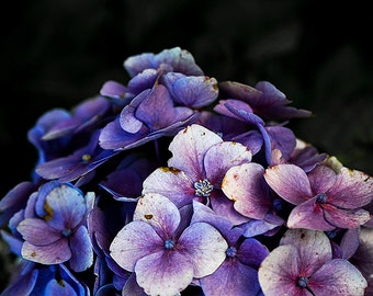 PURPLE HYDRANGEA POSTER. Hydrangea photos and hydrangeas photography poster mural hydrangeas fine art print set photography Tavid.de