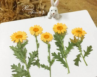 10pcs Dried Pressed Flowers, Real Pressed  for Crafting - Yellow Daisies for resin jewelry making