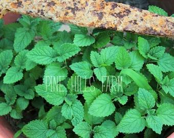 Digital photo of Lemon balm herb