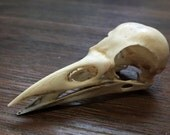 The crow skull