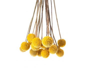 Dried Craspedia | Billy Balls | Dried Flowers | Floral Art | 10 Stem Bunch | Dried Flowers