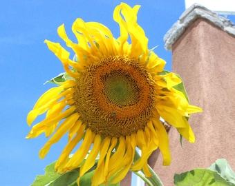 Sunflower fine art photograph, landscape photo, flowers, wildlife, color photography, outside picture