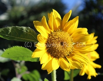 Botanical Photography: Sunflower- nature photography, floral, flower, garden