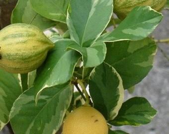 Pink Lemon Live Plant