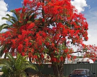 Brachychiton Acerifolius 7 OR 50 Seeds, Illawarra Flame Tree, Garden Kurrajong