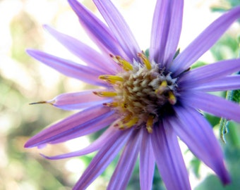 Purple Aster, Wildflower Photography, Botanical Print, Fine Art, Nature, Macro Photography, Wall Art