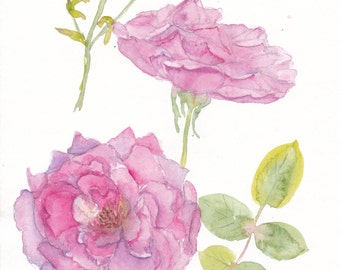watercolor pink garden rose