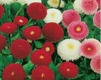 English daisy MIX Bellis perennis <0.2 g, 1000+ seeds>