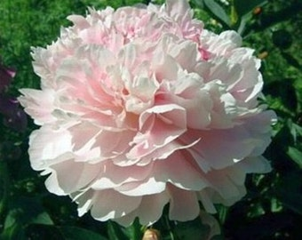PEONY FLOWER - Shirley Temple - Bare Root Plant
