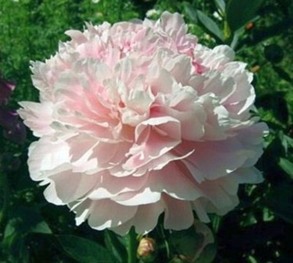 how to care for peonies in the fall