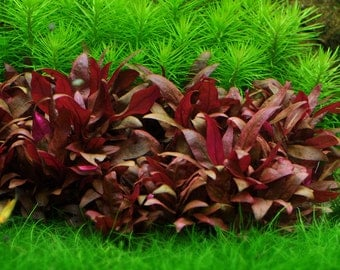 Alternanthera Reineckii Mini aquarium planted tank freshwater live plant water terrarium bonsai garden