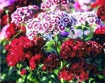 Sweet William Mix Flower Seeds/Dianthus Barbatus/Perennial   60+