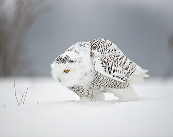 Flying Low Owl
