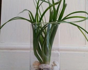 Vase terrarium with Brachycaulos x Flabellata Air Plant