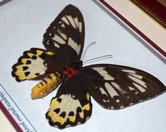 Real Butterfly Ornithoptera Priamus Poseidon Female In Quality Shadowbox