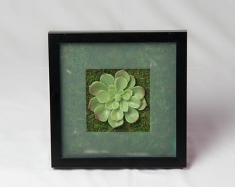 Succulent in Shadowbox Frame