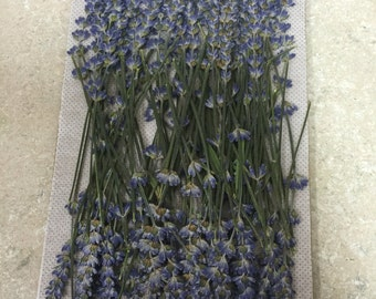 Lavender 100 pak