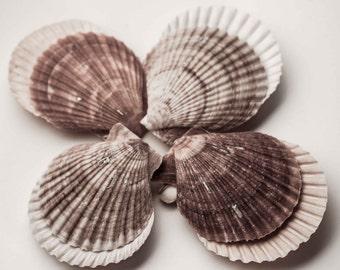 SALE Sea shell photograph or canvas print, sizes 5x7,8x10,11x14, kitchen,bathroom wall art photo