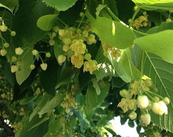 Organic hand harvested dried linden flowers, lime tree, basswood, Tilia 1 oz.