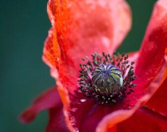 Poppy Flower Photo Mounted Print - Close Up