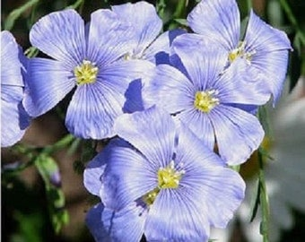 75+ Electric Blue Flax Flower Seeds / Perennial