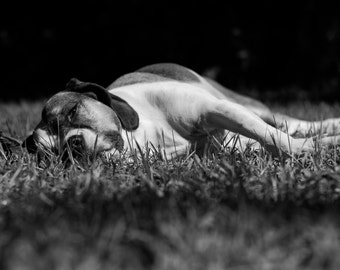 Fine Art Dog Photography, Lazy Dog Photography Print