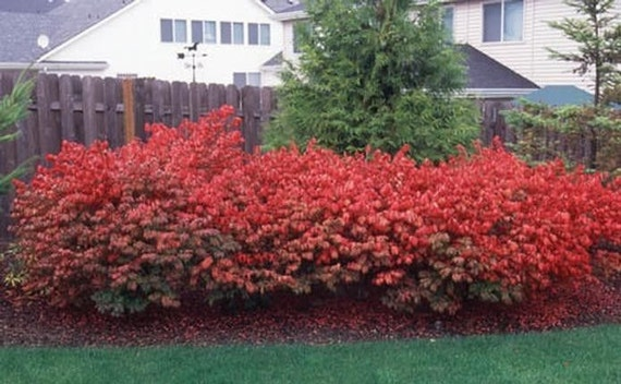 10 Dwarf Burning Bush Hardy Shrub Plants Bare Root Euonymus
