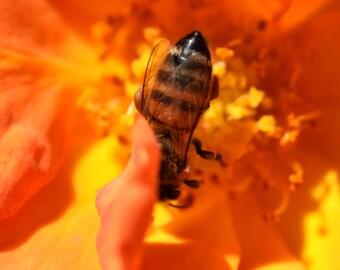 O7 - Orange Rose Bee