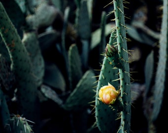 Dark Prickly Pear with Gold Flower
