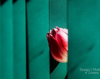 Shy - Tulip Photography Print, Nature, Flower, Home Decor