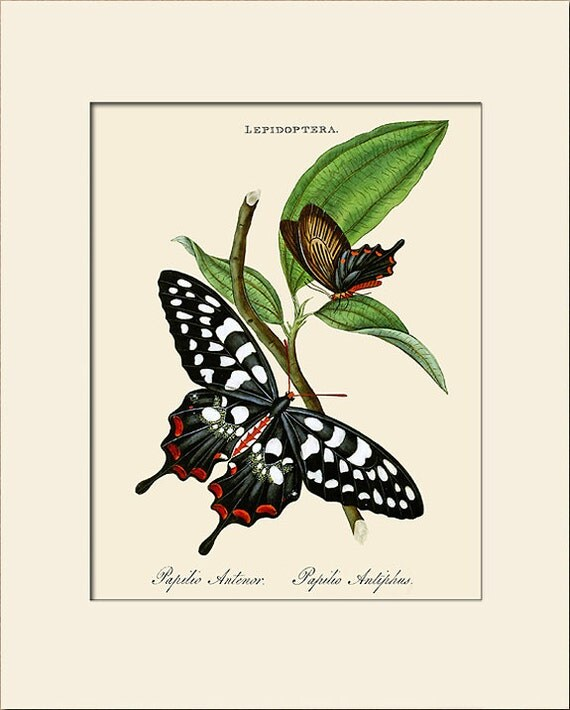 Butterfly Art Print with Mat, Papilio Antenor, Plate 16, Donovan, Natural History Illustration, Wall Art, Wall Decor, Butterfly Print