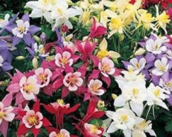 Aquilegia Dwarf Mix 50 Seeds, Columbine Seeds, Perennial, Vivid colours
