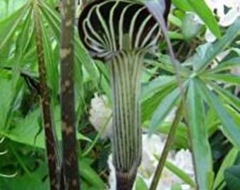 Arisaema Consanguineum 5 Seeds, Cobra Lily