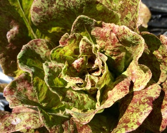 Lettuce - Speckled Butterhead lettuce heirloom (250 seeds/pkg)