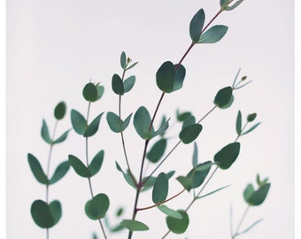 Nature Photography  - Green Art - Eucalyptus 1 -  Fine Art Photograph - Botanical Print - Oversized Print - Alicia Bock - Botanical Art