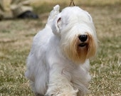 Sealyham Terrier 11 x 14 illustration graphic art on gallery wrapped canvas by stephen fowler per details