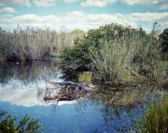 Wildlife Photography, Resting Alligator, Nature Photography, Georgia Decor, Swamp Life, Film Photography, Animal Print, Dreamy Nature Scene