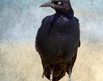 Crow Art Decor, Bird Photograph, Bird Art, Raven, Black & White, Gothic Decor, Black Bird Print, Blackbird Art- Portrait of a Grackle, No 2