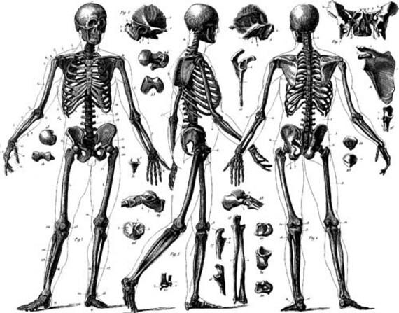 skeleton anatomy chart clip art png digital image download biology science printable wall art