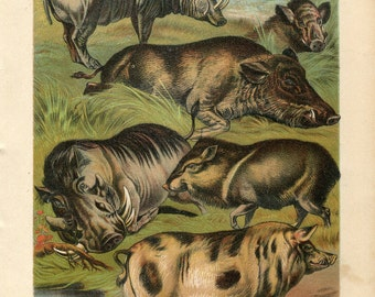 Antique Print of Pigs, Wild Boars Color Lithograph 1880s Johnson's Household Book of Nature